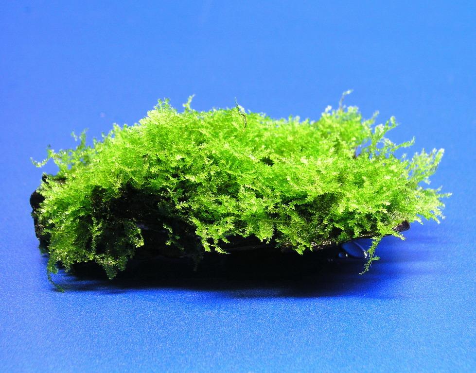 exotisches weihnachtsbaum moos auf sch ner wurzel ebay. Black Bedroom Furniture Sets. Home Design Ideas