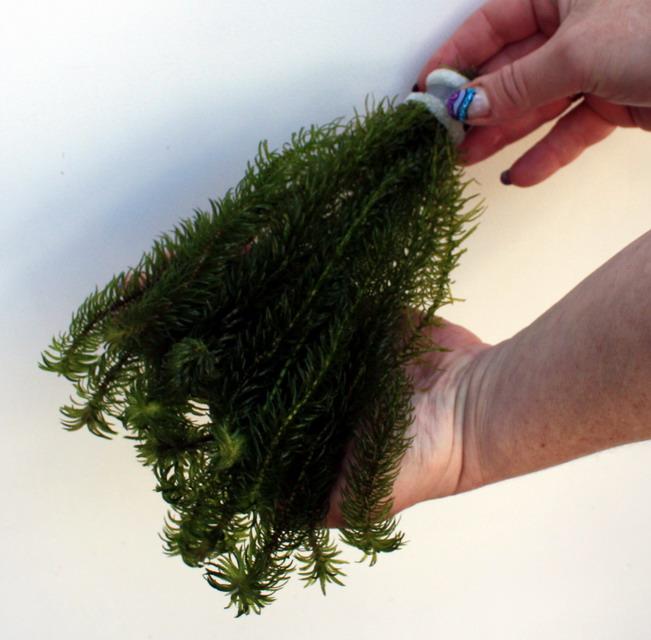 50 unterwasserpflanzen teich sortiment sauerstoffpflanzen. Black Bedroom Furniture Sets. Home Design Ideas