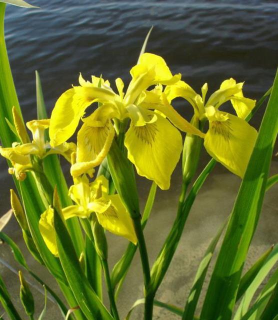 Wasserschwertlilie oder sumpfiris iris pseudacorus im for Heimische teichfische