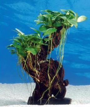 dennerle urwaldbaum mbuna mittel mit anubia nana sehr gut f r barsch aquarium ebay. Black Bedroom Furniture Sets. Home Design Ideas