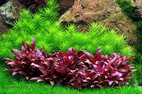 alternanthera reineckii mini wird nicht rot sondern braun pflanzen allgemein aquascaping. Black Bedroom Furniture Sets. Home Design Ideas