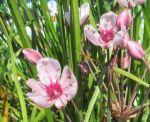 wasserschwertlilie oder sumpfiris iris pseudacorus im 9x9 cm topf wa. Black Bedroom Furniture Sets. Home Design Ideas
