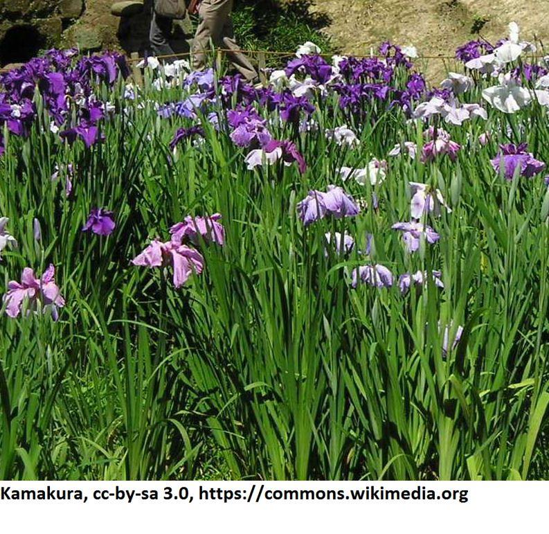 japanische sumpf schwertlilie iris ensata im 9x9 cm topf. Black Bedroom Furniture Sets. Home Design Ideas