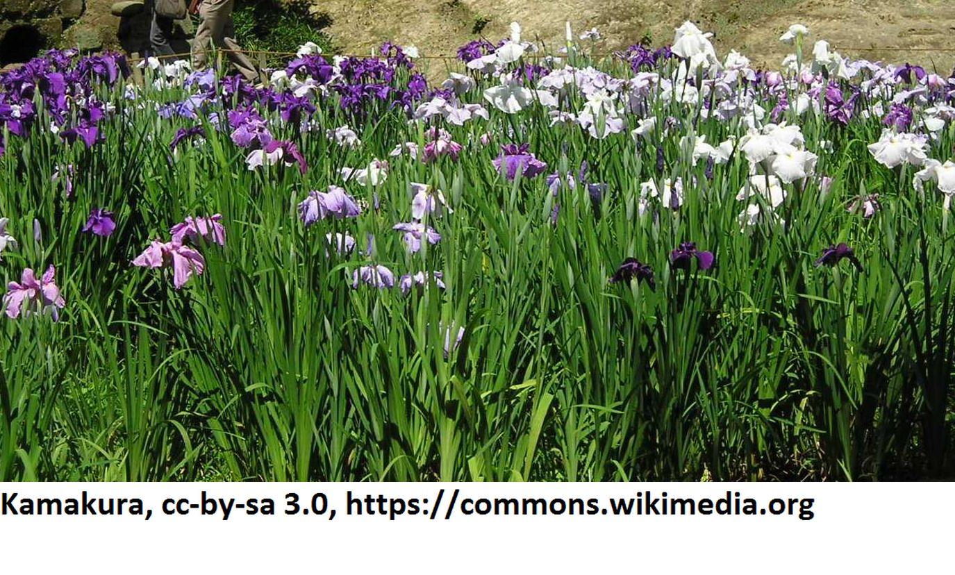 Japanische sumpf schwertlilie iris ensata im 9x9 cm topf for Blaue teichfische