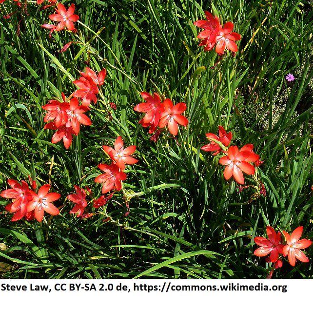 Schizostylis coccinea Spaltgriffel