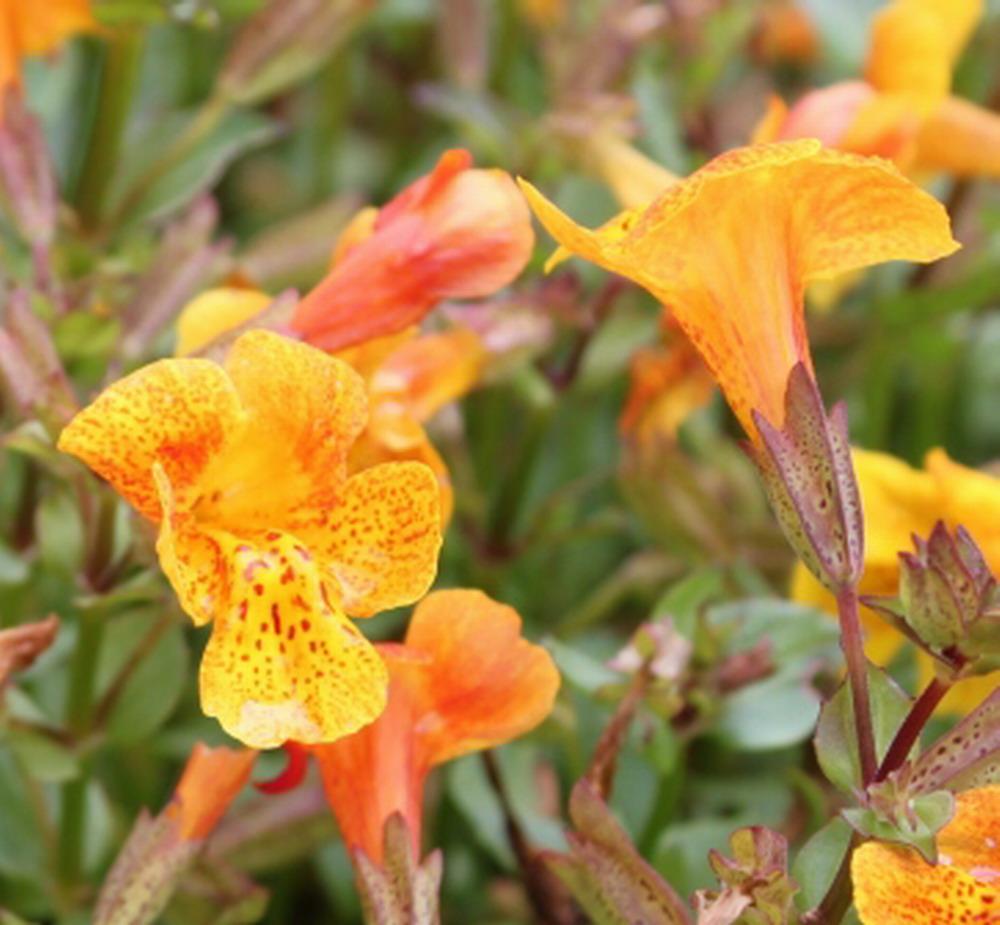 Wasserpflanzen Wolff Mimulus Orange Glow Gauklerblume orange