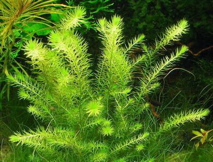 Gr nes mooskraut mayaca fluviatilis planetplants b062pp for Beliebte teichfische