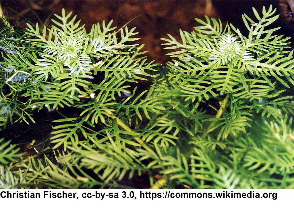 Wasserfeder wasserprimel hottonia palustris im bund for Heimische teichfische
