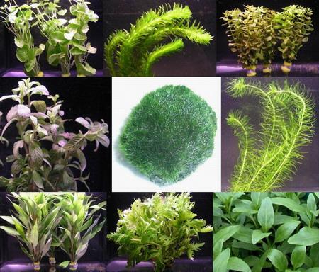 anti algen set schnellwachsende 5 arten 1 mooskugel wasserflora s04. Black Bedroom Furniture Sets. Home Design Ideas