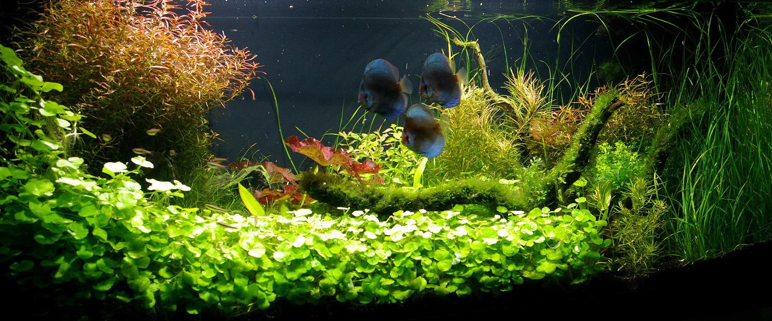 unterwasser landschaft diskus traum f r ein 400 liter aquarium wasser. Black Bedroom Furniture Sets. Home Design Ideas
