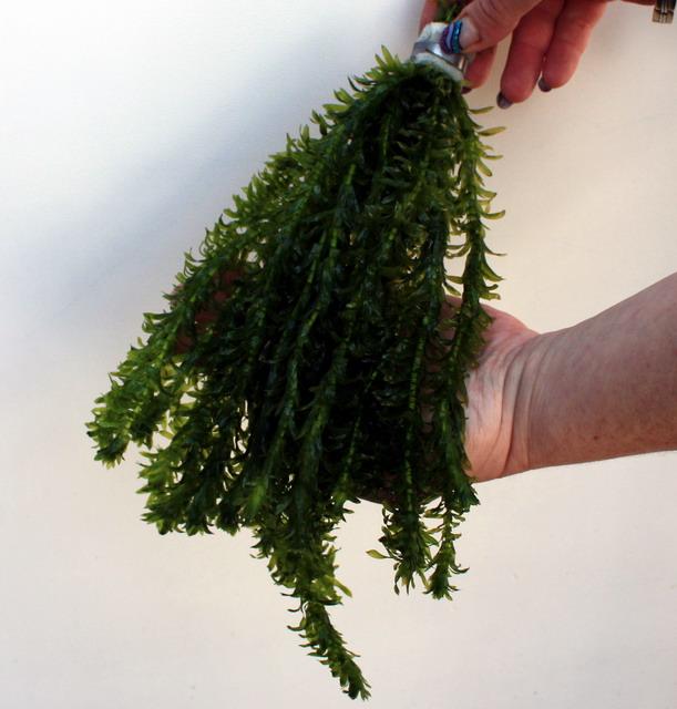 25 unterwasserpflanzen teich sortiment sauerstoffpflanzen. Black Bedroom Furniture Sets. Home Design Ideas