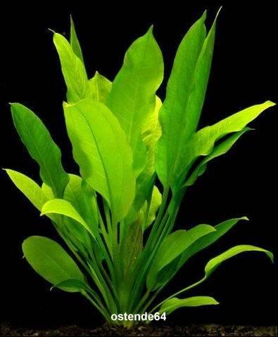 gro e amazonas schwertpflanze echinodorus bleheri planetplants b032p. Black Bedroom Furniture Sets. Home Design Ideas