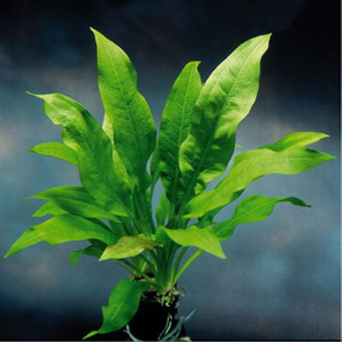 schwarze amazonas schwertpflanze echinodorus parviflorus. Black Bedroom Furniture Sets. Home Design Ideas