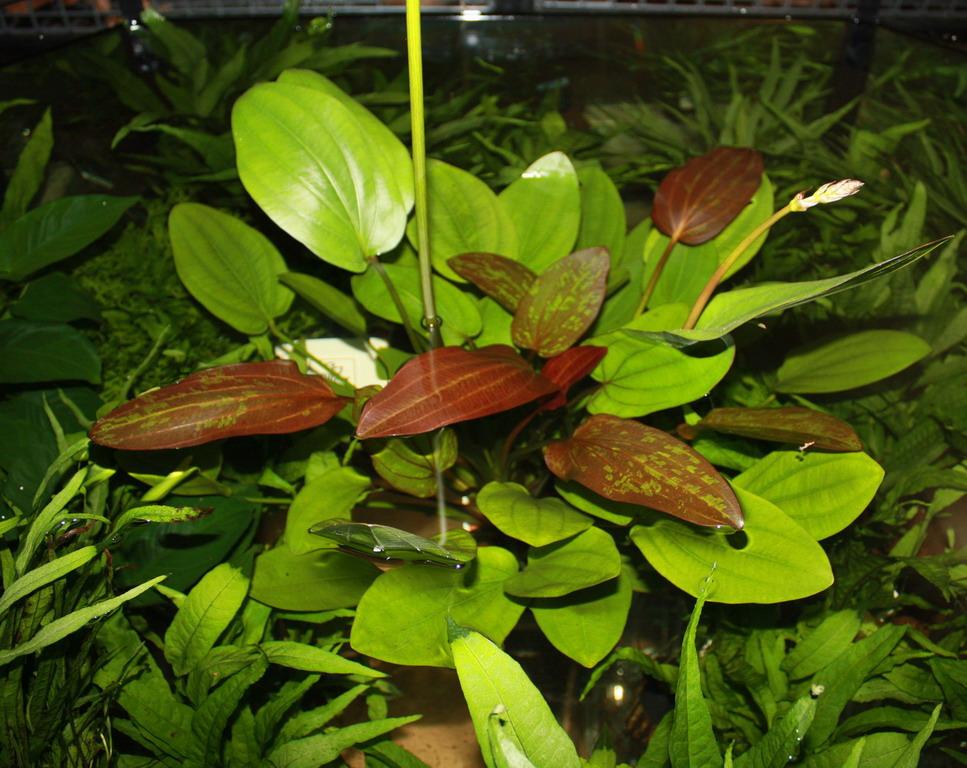 mutterpflanze echinodorus barthii x doppeltrot barths schwertpflanze. Black Bedroom Furniture Sets. Home Design Ideas