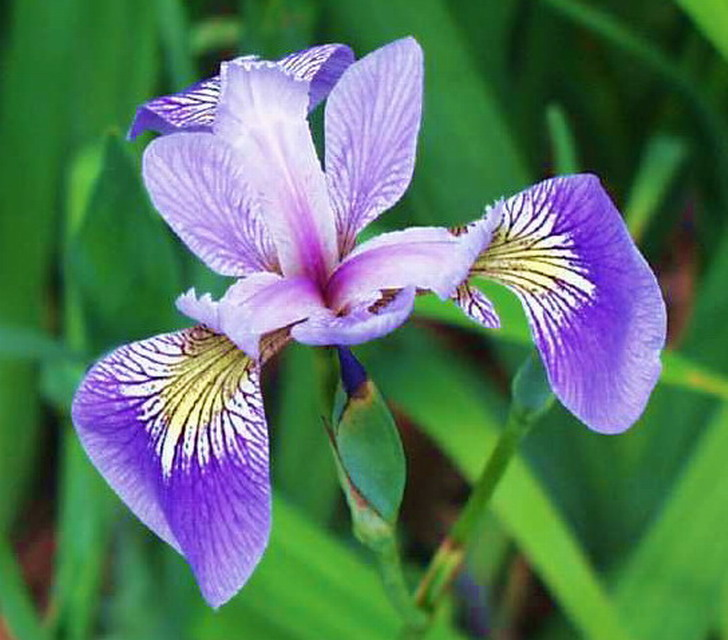 amerikanische sumpfschwertlilie iris versicolor im 9x9. Black Bedroom Furniture Sets. Home Design Ideas