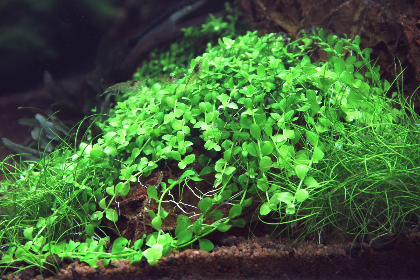 Monte Carlo Zwergperlkraut Micranthemum Spec Monte Carlo Wfw Wass