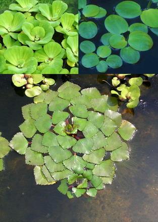 Ganz und zu Extrem 3er Set Schwimmpflanzen je 1x Muschelblume, Froschbiss, Wassernuss was @QB_71