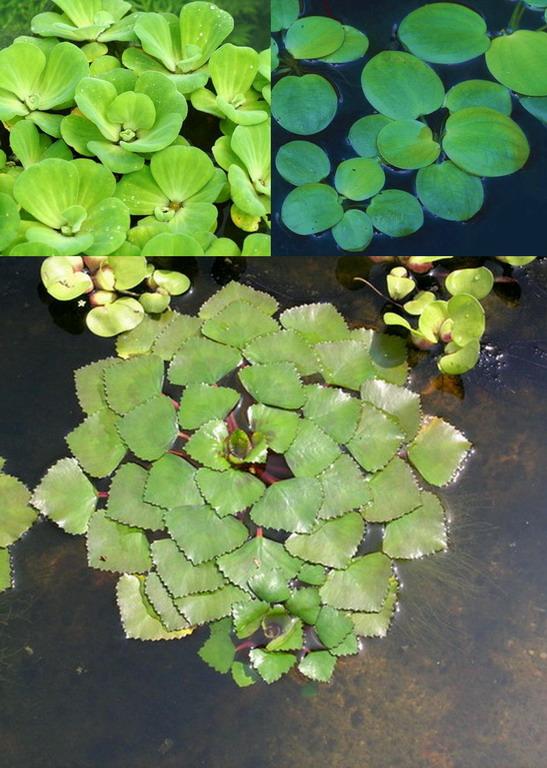 3er set schwimmpflanzen je 1x muschelblume froschbiss for Jungfische im teich