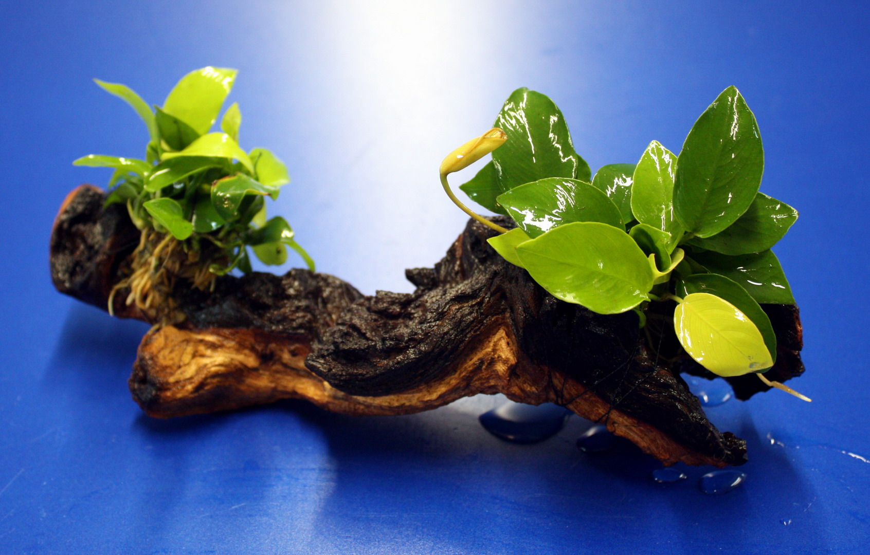 2 x goldenes zwergspeerblatt auf sch ner mopani wurzel for Aquarium wurzel